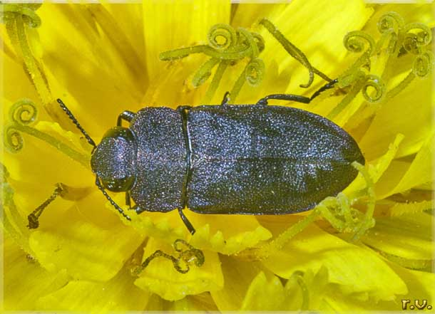 Anthaxia helvetica  Buprestidae