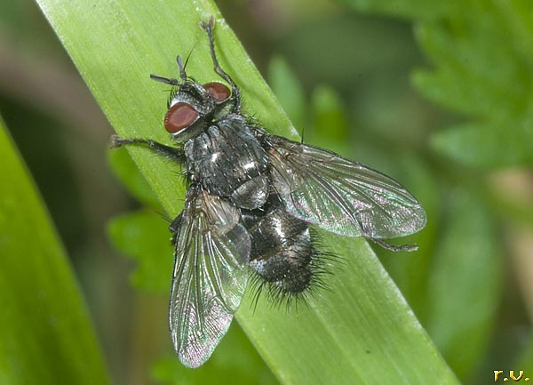 Calliphora vicina  Calliphoridae
