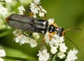 Cantharis_nigricans