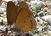 Coenonympha_oedippus