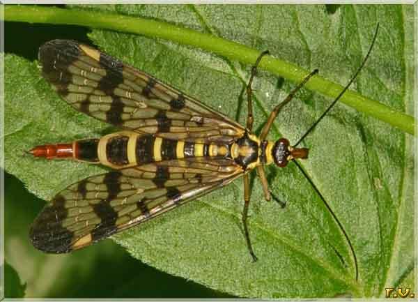 fotografie mosca scorpione panorpa  munis panorpidae mecotteri