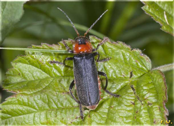 Cantharis fusca  Cantharidae