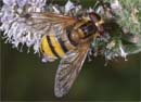 Volucella_inanis